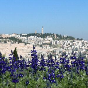 """סילביה רויטמן, """"תורמוסים על רקע ירושלים"""", צילום, 050-8573393 sproitman@gmail.com"""